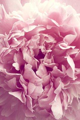 Naklejka Piwonia kwiat