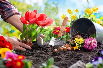 Naklejka Planting spring flowers in the garden