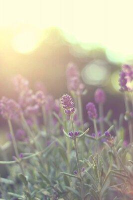 Naklejka podświetlany Lavender