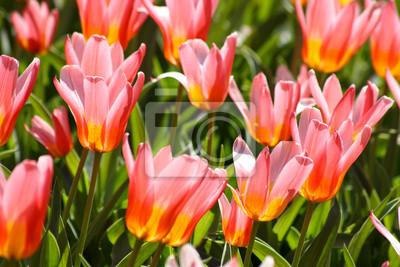 Pola tulipanów - lato nadchodzi!