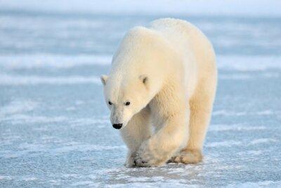Naklejka Polar Bear chodzenia na niebieski lód.