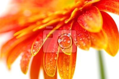 pomarańczowy gerbera
