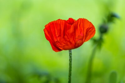 Naklejka Poppy