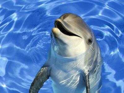 Naklejka Portrait d'un delfin commun