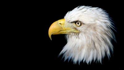 Naklejka Portret Bielik amerykański na czarnym tle z miejsca na tekst