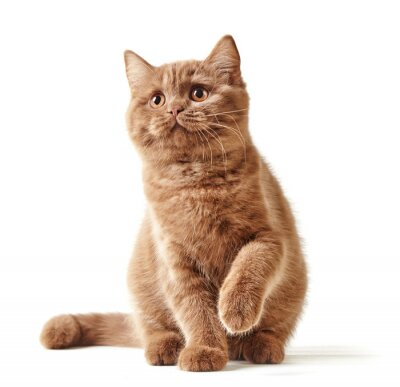 Naklejka Portret British kitten