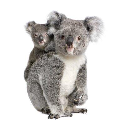 Naklejka Portret Koala niedźwiedzi, przed białym tle