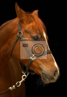 Portret konia na czarnym tle.