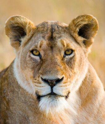 Naklejka Portret lwica. Close-up. Kenia. Tanzania. Masajowie Mara. Serengeti. Doskonałą ilustracją.