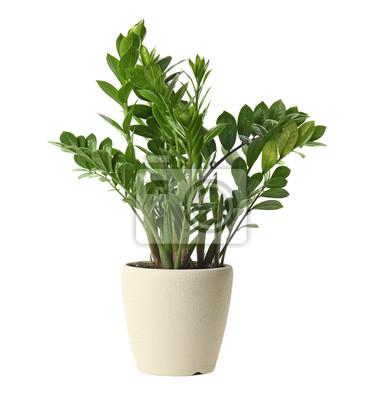 Naklejka Pot with Zamioculcas home plant on white background