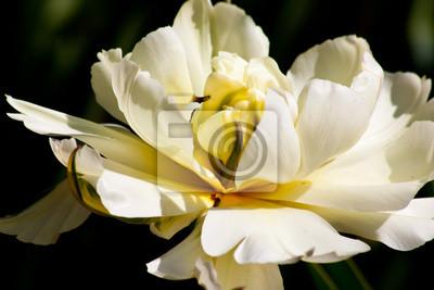 prachtige Tulpe