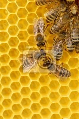 Pracy Pszczoły na plastrze miodu