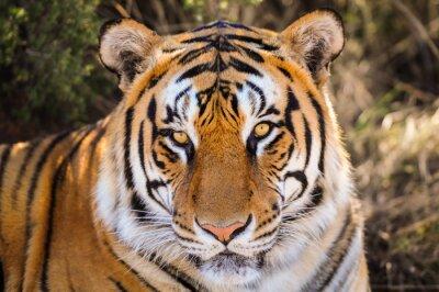 Naklejka Przeznaczone do walki radioelektronicznej Portret z tygrysa