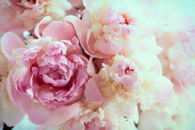 Puszyste różowe peonie kwitną tło