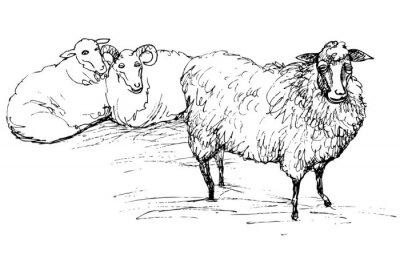 Naklejka Ram i owiec