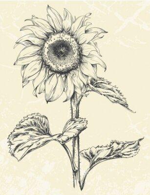 Naklejka Ręcznie rysowane słonecznika z liści ans macierzystych wyizolowanych na tle z teksturą