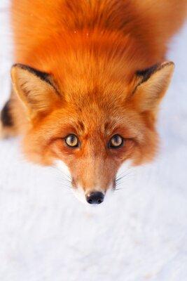 Naklejka red fox