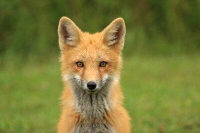 Naklejka Red Fox Kit Szef Portret, PEI, Kanada