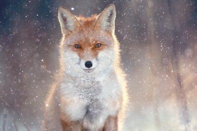 Naklejka Red Fox w zimowym lesie Dość