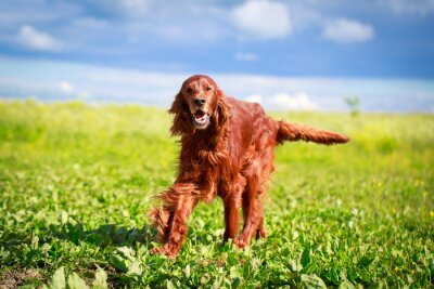 Naklejka Red Seter irlandzki pies