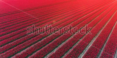 Naklejka Red tulip field Netherlands