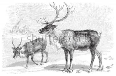 Naklejka Reindeer (Rangifer tarandus) / vintage illustration from Meyers Konversations-Lexikon 1897