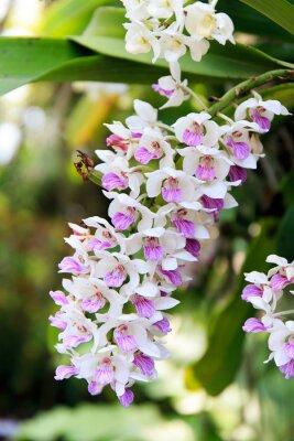 Naklejka Rhynchostylis orchidei.