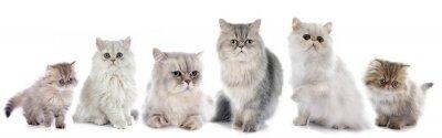 Naklejka rodziny koty perskie