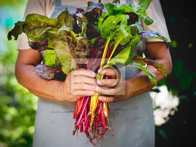 Naklejka Rolnik gospodarstwa świeżego organicznych szwajcarski chard warzyw w ręce.