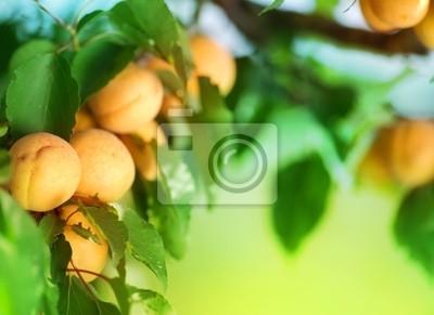 rośnie Apricot