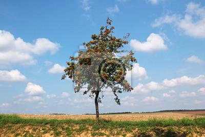 Rowan drzewo rośnie w środku polu jesienią