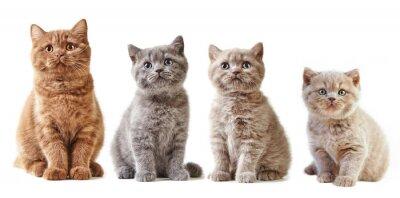 Naklejka różne brytyjskie kocięta