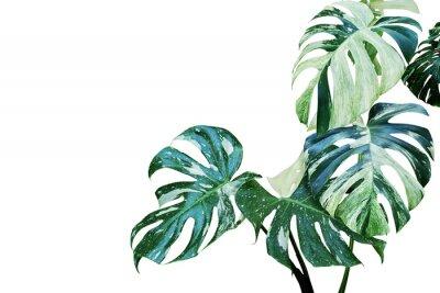 Naklejka Różnobarwni liście Monstera, Rozszczepiony liść filodendron roślina Odizolowywająca na Białym tle