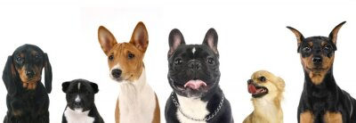 Naklejka Różnych ras małych psów