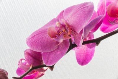 Naklejka Różowa orchidea / kwiat samodzielnie na białym tle