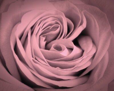 Naklejka Różowa róża makro tło. Romantyczna miłość kartkę z życzeniami