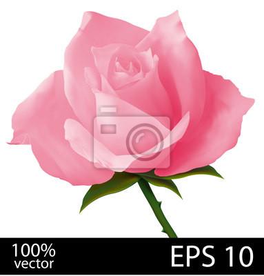 Różowa róża realistyczny rysunek