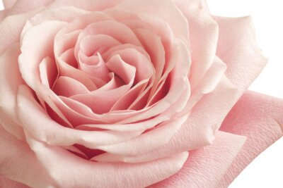 Naklejka różowa róża z bliska