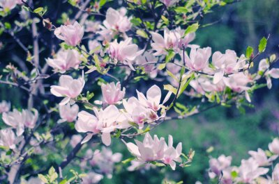 Naklejka Różowe kwiaty magnolii jak pięknym tle kwiatów wiosną (płytkiej głębi ostrości, styl retro)