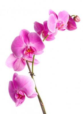 różowe kwiaty orchidea na białym tle