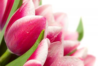 Naklejka Różowe tulipany z kropli wody na białym tle / kopiowanie miejsca fo