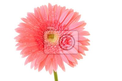 różowy Gerbera na białym tle