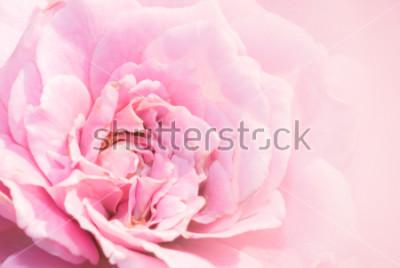 Naklejka Różowy kwiat róży na różowym tle z płytkiej głębi ostrości i skupić się na środku kwiatu róży. Piękna różowa róża w ogrodzie. różowa róża makro.