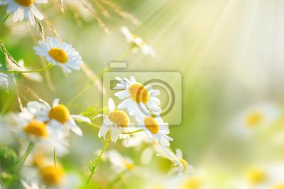 Rumianek kwiaty dziedzinie granic. Piękna przyroda sceny z kwitnących chamomilles medycznych