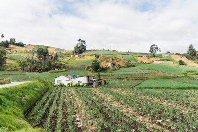 Naklejka Rural Andean landscape, field of welsh onion, Allium fistulosum
