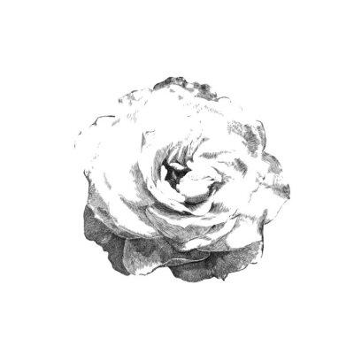 Naklejka rysowane róża