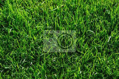 Naklejka sattgrüne Rasenfläche, Gräser, samtige Vegetationsdecke in der Morgensonne, top view