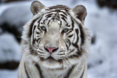 Naklejka Seksowny portret młodej Biały Tygrys bengalski