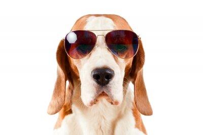 Naklejka sentry dog in sunglasses  on white