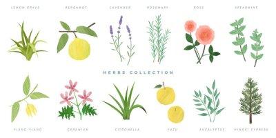 Naklejka Set of hand drawn herbs illustration, isolated on white background -lemon grass, bergamot, lavender, rosemary, rose, spearmint, ylang-ylang, geranium, citronella, yuzu, eucalyptus, hinoki